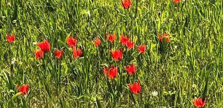 Στο Πολέμι η Επίτροπος Περιβάλλοντος για την προστασία της τουλίπας